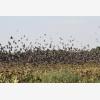 Karoo Wingshooting (6398)